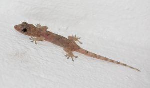 Hemidactylus_mabouia_in_Picard_Dominica_07-300x176