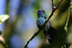 colibri-tête-bleue-300x200