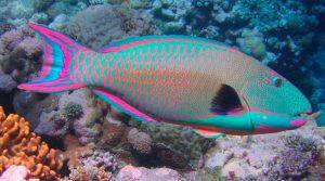 poisson-perroquet-300x167